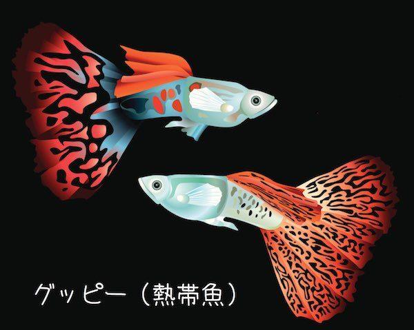 Guppy(グッピー)熱帯魚